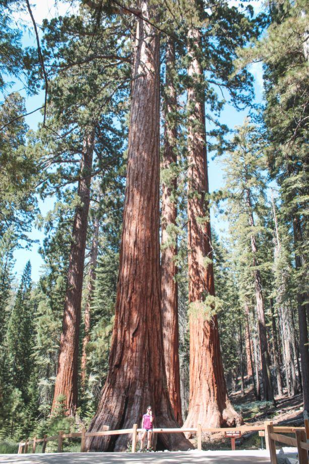 Sequoia en Mariposa Grove 1