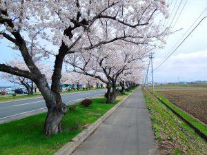 つかの桜街道