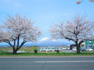 桜並木と岩木山