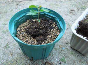 実生苗を鉢に移したところ