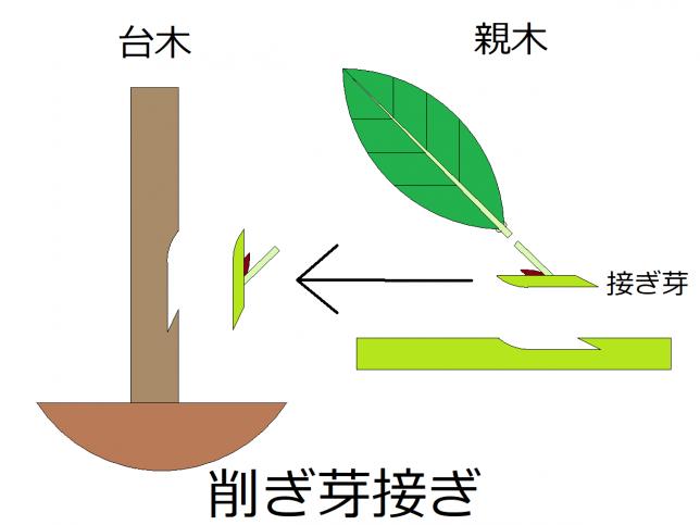 削ぎ芽接ぎの概要図