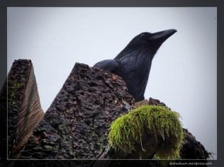 Alouette Lake, British Columbia (Common Raven)