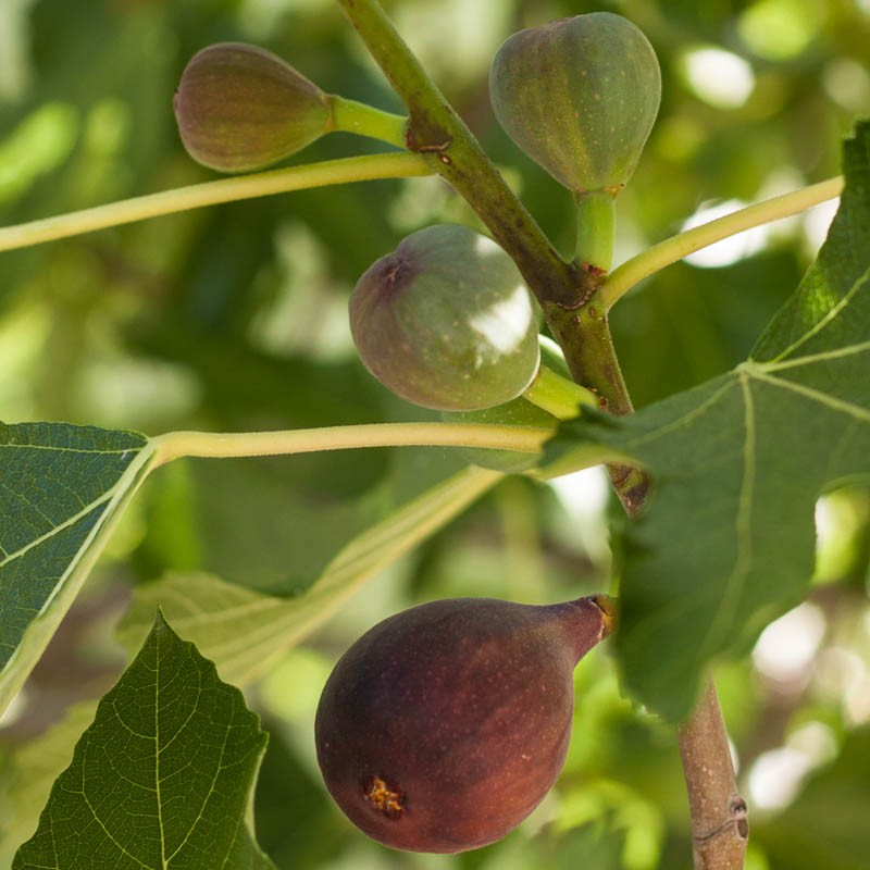 The Fig Tree: Those Amazing Herbal Compounds – divinewiz