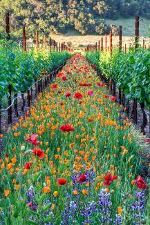 spring-vineyard