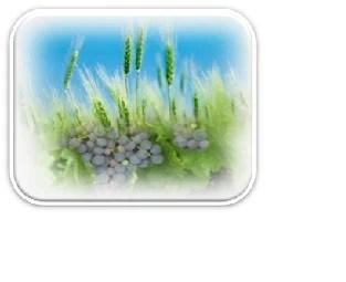 19.- uvas y espigas