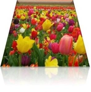 27.- tulipán