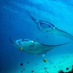 The Manta Rays of Raja Ampat