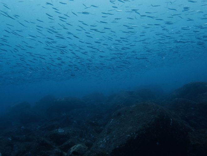 鹿児島・佐多魚群
