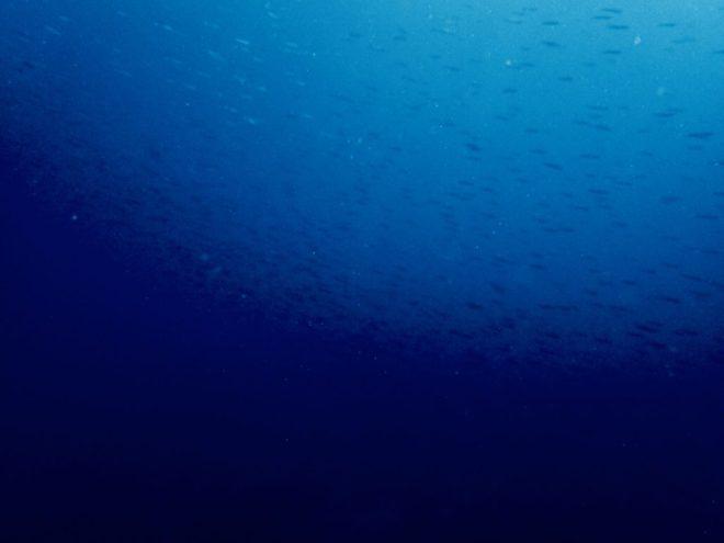 鹿児島佐多のキビナゴ
