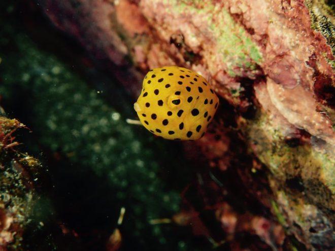 鹿児島佐多のミナミハコフグ幼魚