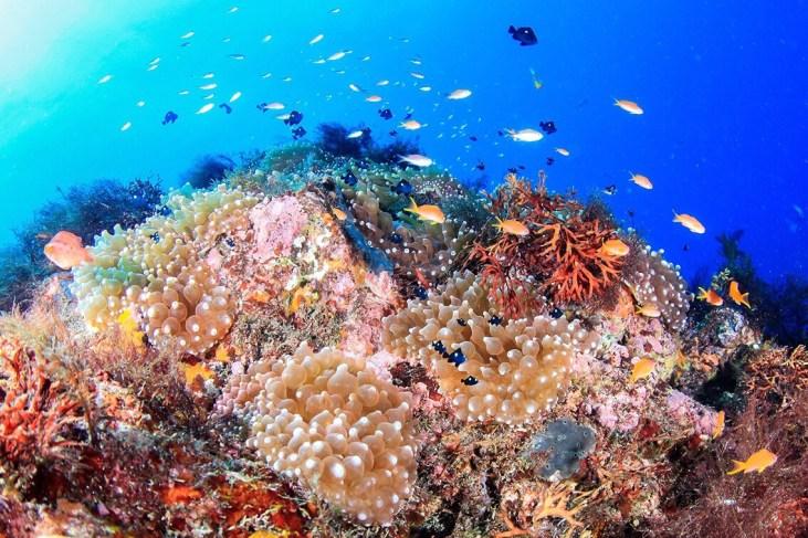 伊豆大島のサンゴ