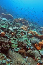 Corals and fish at Le Rocher Diamant. Photo © Jeffrey Gallant | Diving Almanac
