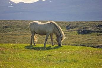 Icelandic horse near Stykkishólmur. Photo © Jeffrey Gallant | Diving Almanac