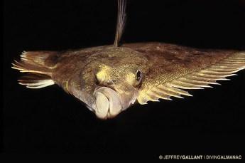 Flounder in Chaleur Bay. Photo © Jeffrey Gallant   Diving Almanac