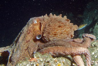Giant Pacific octopus off Point Piños, California, at a depth of 65 m (213 ft). Photo by NOAA (Public Domain)