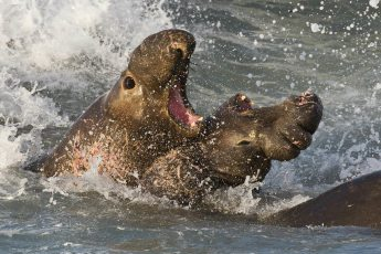 Male northern elephant seals fighting for territory and mates at San Simeon, California. Photo by Mike Baird (Creative Commons)