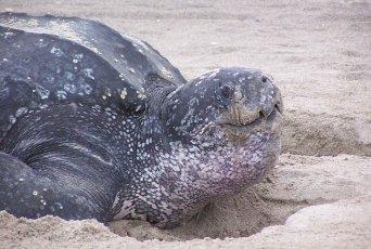 Leatherback turtle. Photo by Rabon David | U.S. Fish and Wildlife Service (Public Domain)