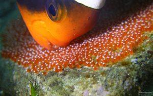 Clark's anemonefish babies