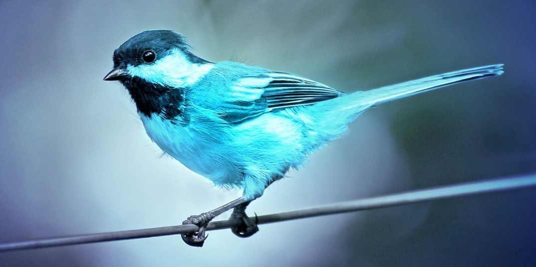 Twitter Bird Real Pássaro