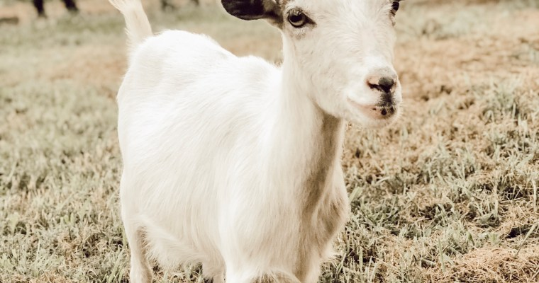 We got goats and you won't believe how we got them home!