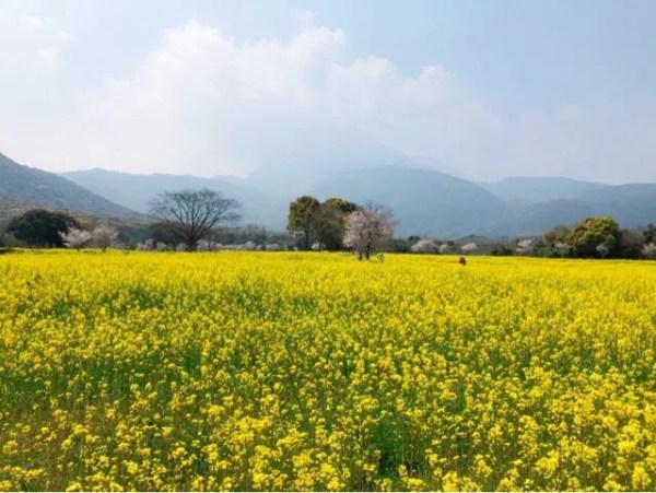 春の花まつりの菜の花1000万本が綺麗すぎる