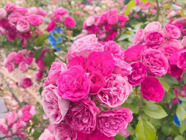 バラ祭のバラの種類が豊富