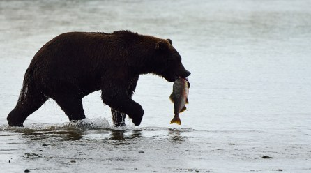 Alaska, orso con salmone