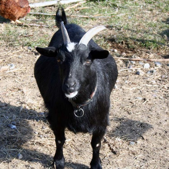 Super Goatload of Soap, Bulk Buy, 3 Six Ounce Bars, Discount Soap, Goat's Milk Soap, Handmade Soap by happygoatsoap