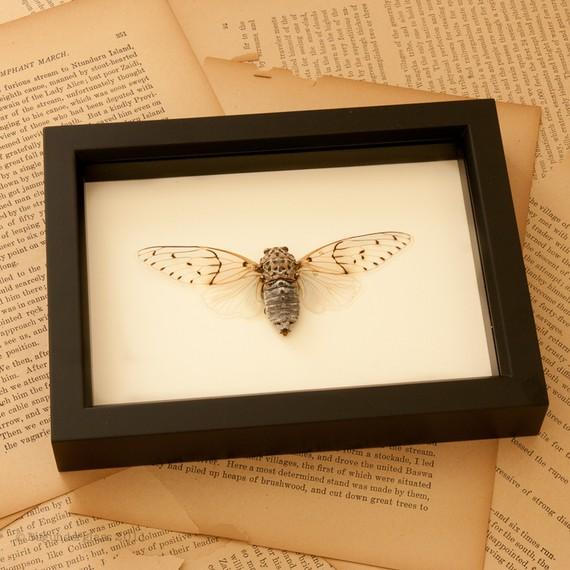 Framed Winged Ghost Cicada Display by BugUnderGlass