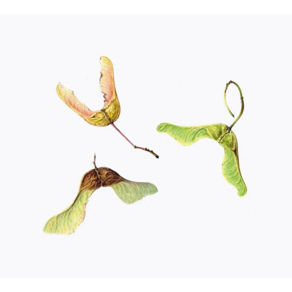 Limited Edition Print 'Maple Seeds'. by TheBotanicalConcept
