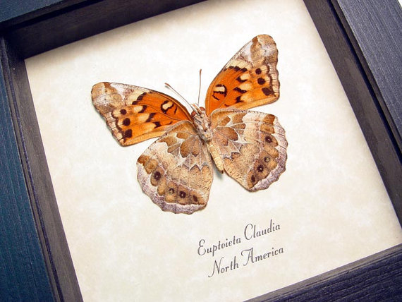 Real Framed Euptoieta Claudia The Variegated Fritillary Butterfly 2523 by REALBUTTERFLYGIFTS