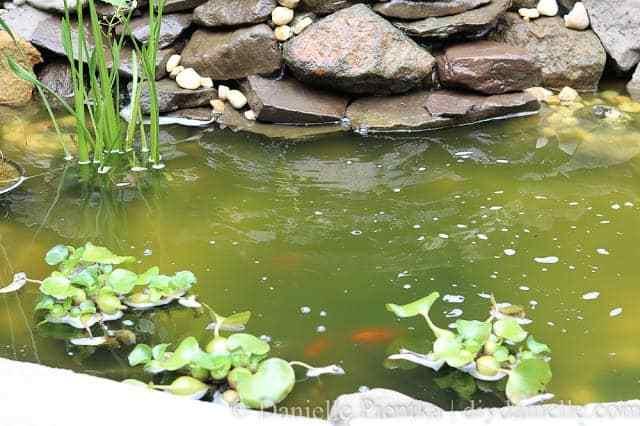 Algae in a newly established pond.