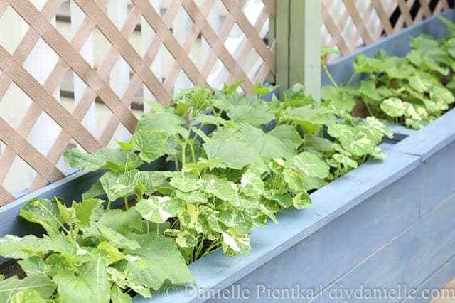 Cucumber plants and nasturium growing in planters by the pond.