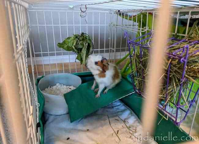 Easy Guinea Pig Litter Box