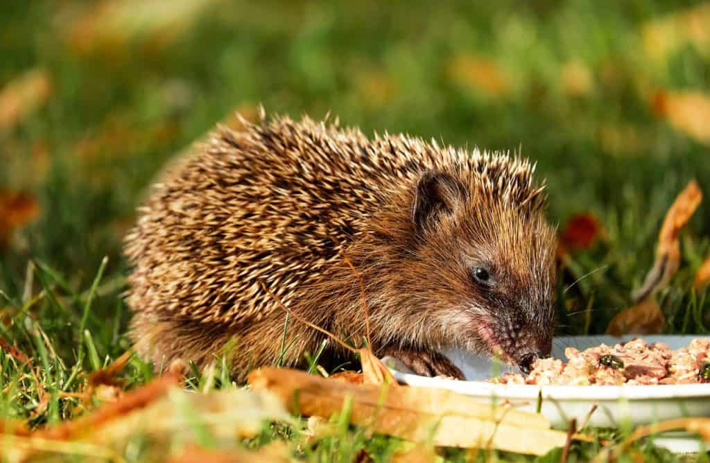 what do hedgehogs eat