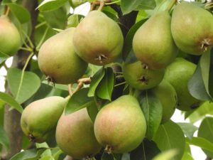 how_to_make_pear_cider