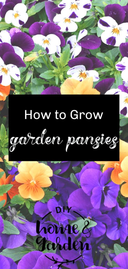 garden pansies