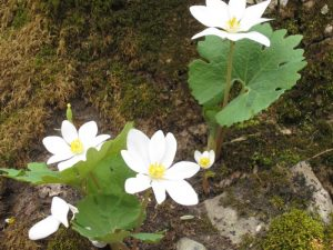 early spring flowers bloodroot