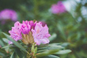 early spring flowers azalea
