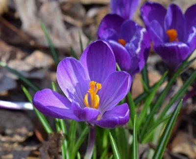 early spring flowers crocus
