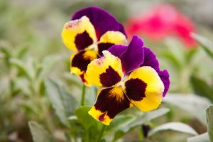 early spring flower pansy