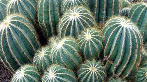 succulent plants cactus