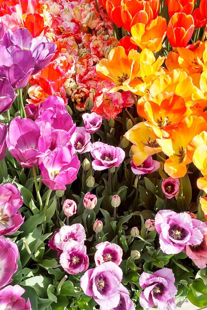 Fancy tulips at Wooden Shoe Tulip Farm