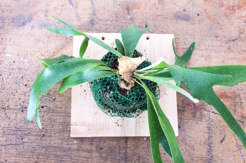 Learn how to mount a staghorn fern and start your own indoor vertical garden