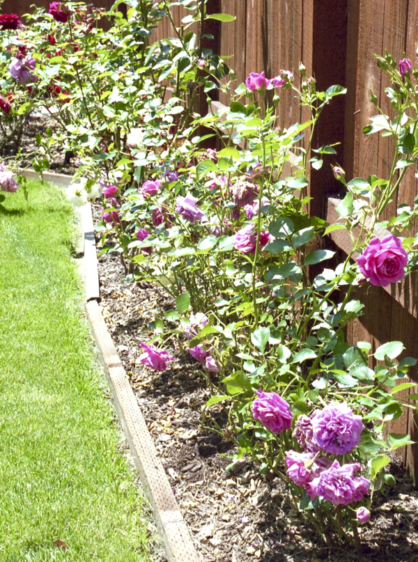 DIY Rose Garden Hacks