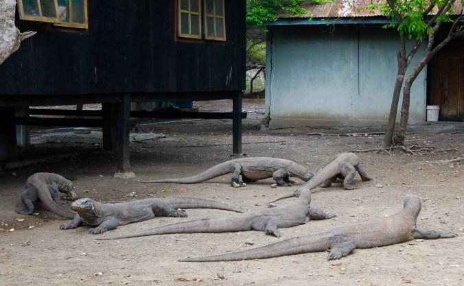 Komodo Dragons Rinca Island Flores