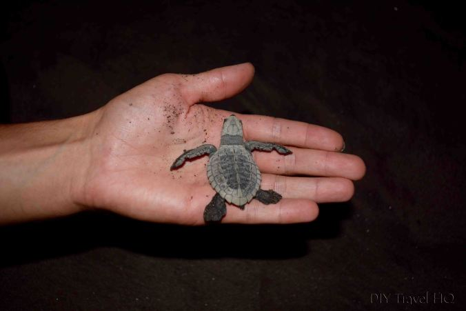 Baby turtle in hand