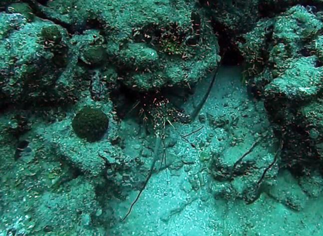 Lobster Utila diving