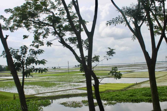 Bangladesh rice fields