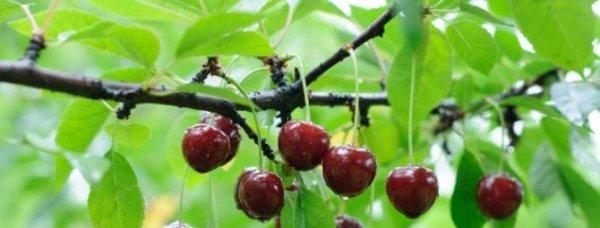 Болезни вишни и лечение, вредители и борьба с ними + фото